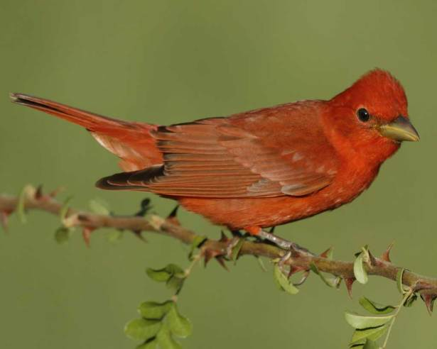 Summer_Tanager_s52-11-415_l_1